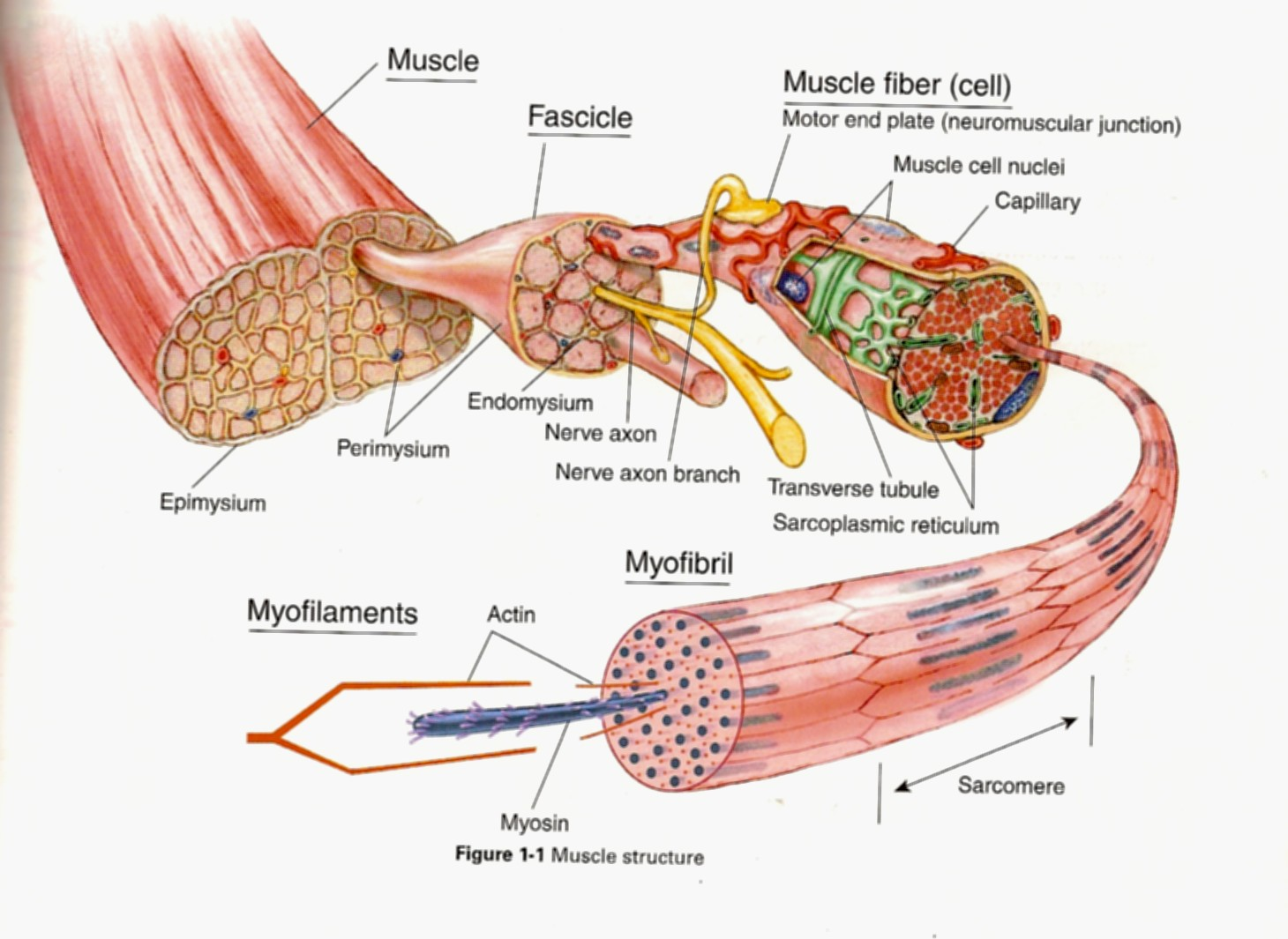 More Facts About Massage & the Structure of a Muscle!