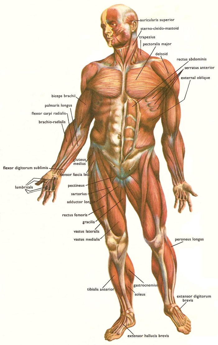 facts about massage and the human body, Muscles